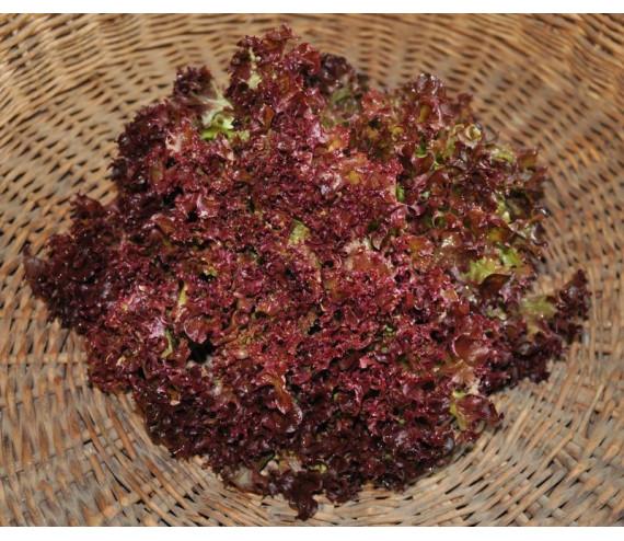 Salanova Teragone (type lollo rouge)
